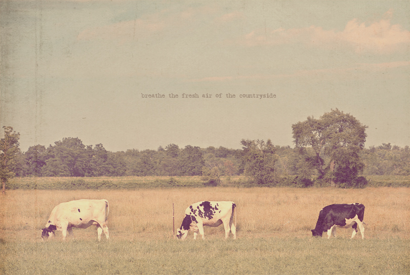 cow photography, cows moo, black and white cows, countryside art print