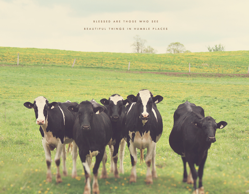 cows photography, cows art, cows print