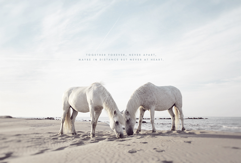 the camargue, horses, white horses