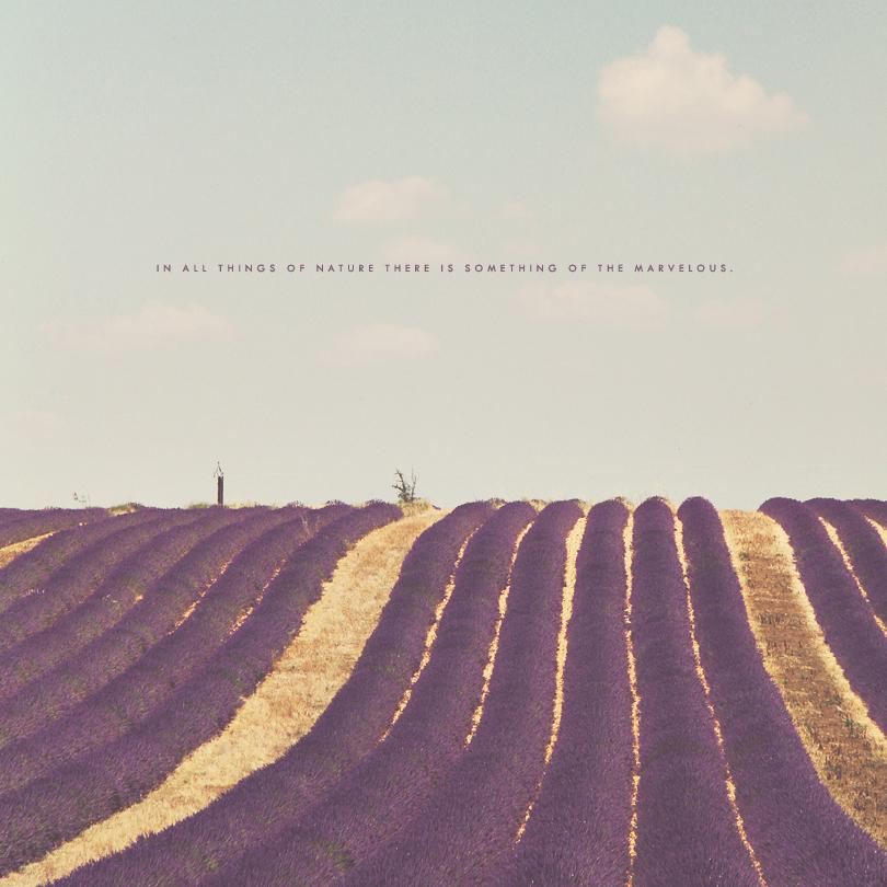 lavender fields, provence, france, aristotle