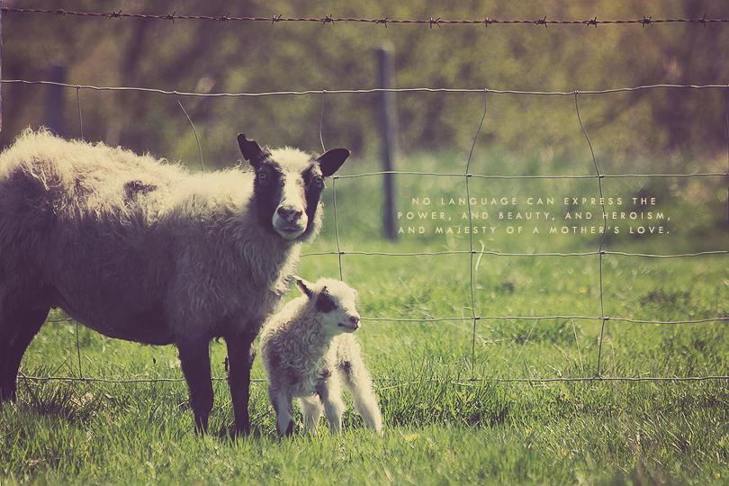 sheep photography, lamb photography