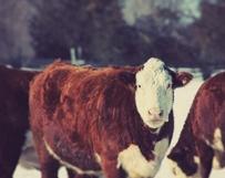 Burly Cow