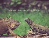 Iguana Duel