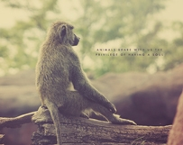 Pondering Baboon