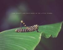 Zebra Grasshopper