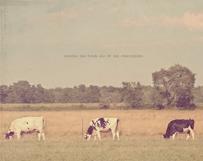 Black & White Cows