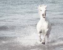 White Camargue Horse